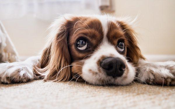 Como Escolherum Cachorro para Apartamento?